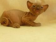 голые котята канадского сфинкса
